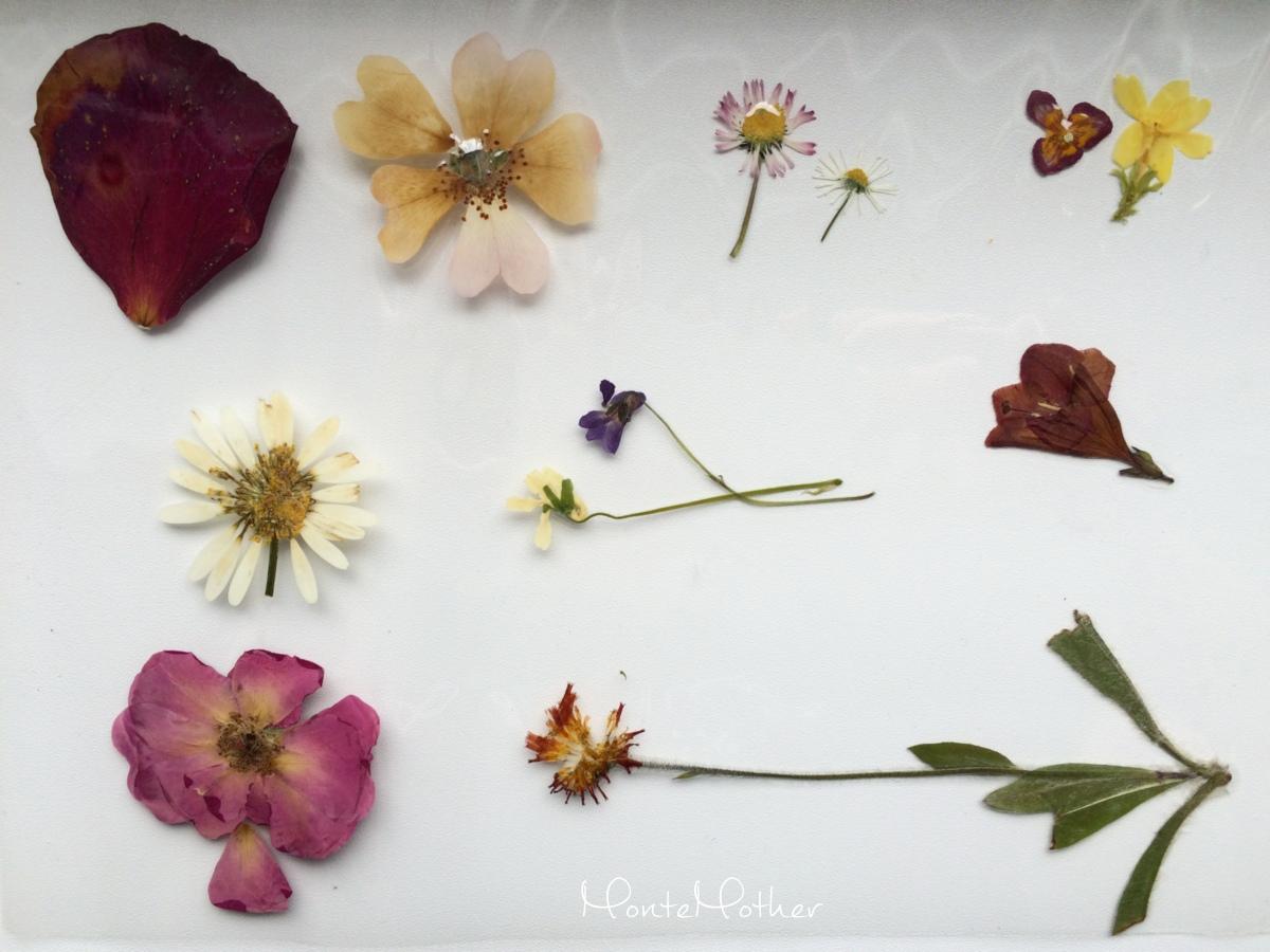 zalaminovane kvety herbar